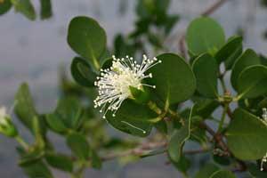 西表島植物図鑑-マヤプシキ